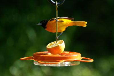 Male Oriole at WBU Feeder