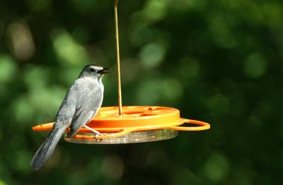 Gray Catbird at WBU Oriole Feeder