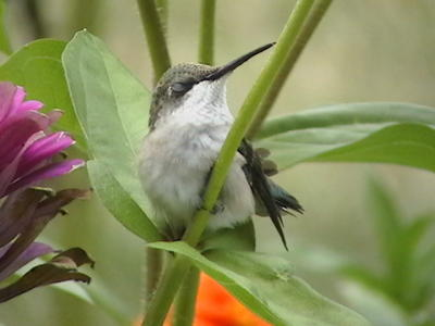 Sleeping Hummingbird