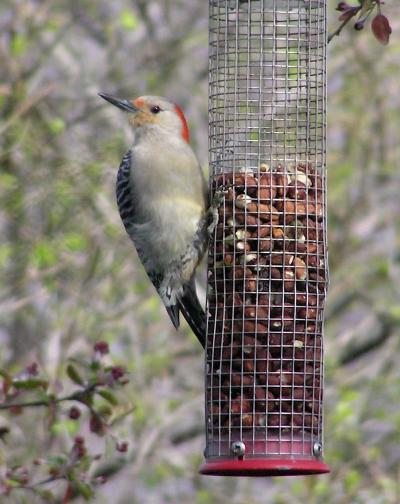 Red-bellied Woodpecker on WBU Peanut Feeder